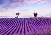 Cánh đồng hoa oải hương trải dài của Provence